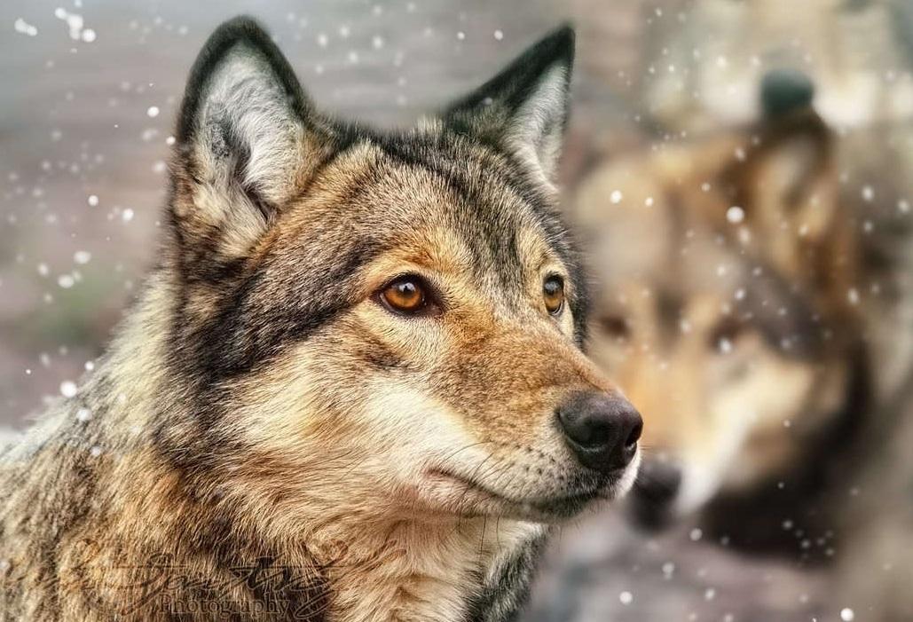 Картинки волк грустный