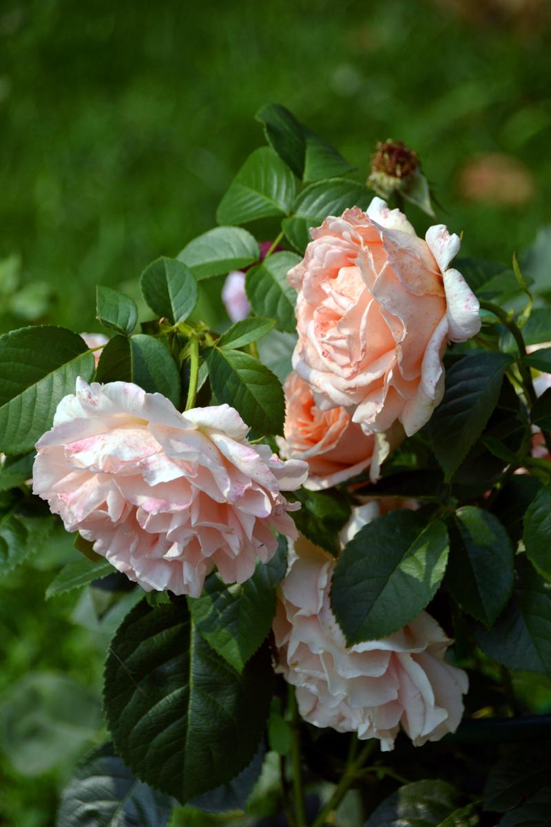 12. Розы